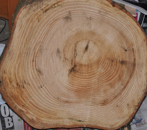 Growth rings in a 55 year old pine slice